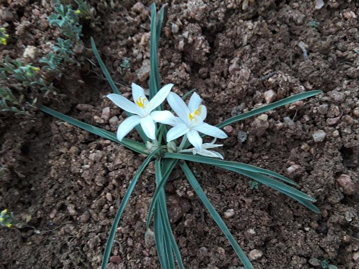 Sand Lily Flower_2019-04-16