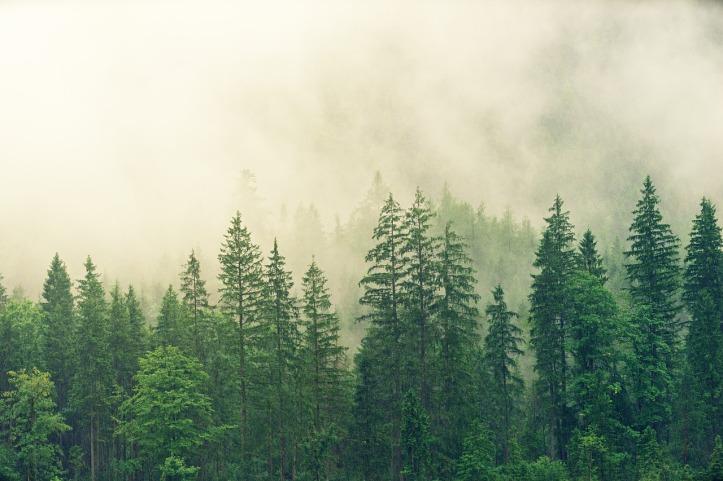 fog-forest