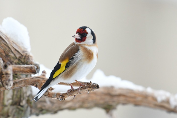 gregory-delaunay-carduelis-european-goldfinch-pixabay