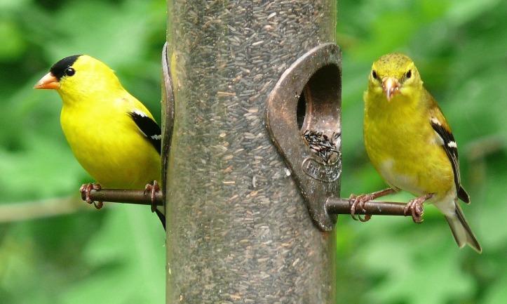 skeeze-american-goldfinches-pixabay
