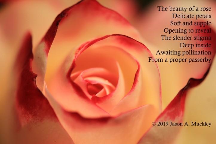 floral-propagation-sushuti-rose-pixabay