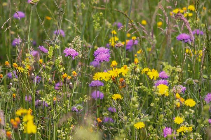 couleur-wild-flower-meadow-pixabay