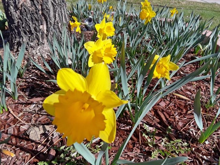 Daffodils_Fotor